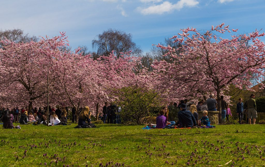 sakura-picnic